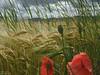 Cornfield impressions (KF-Photo) Tags: kusterdingen weizen weizenfeld mohn halme sommerfeld autokontrast
