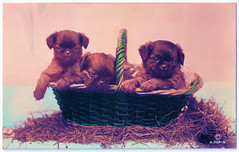Puppies in a Basket (pepandtim) Tags: postcard old early nostalgia nostalgic puppies basket rotary london hand painted real photograph printed great britain ink winnie love kisses queenie 48pup49