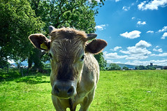 A Curious Soul (scottprice16) Tags: england lancashire clitheroe backcommons land farm farming cattle ribblevalley cow bull young curiosity summer july castle sky colour trees soul inteligence creature sentient fuji fujix100