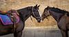 Garde Républicaine (oldurfr) Tags: gendarmerie france garderépublicaine horses chevaux