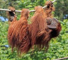 borneo orangutan Kevin Apenheul BB2A7199 (j.a.kok) Tags: orangutan orangoetan borneoorangutan borneoorangoetan asia azie mammal monkey mensaap primate primaat zoogdier dier animal kevin ape aap apenheul borneo