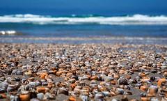 Invasion of the Bean Clams (danielledufour430) Tags: ocean tide pacific pacificbeach sandiego california clam animal beanclam landscape depthoffield horizon blue nature wildlife unique sonya6000 beach sand shore sea