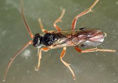 7.2 mm male ichneumonid wasp (ophis) Tags: hymenoptera parasitica ichneumonoidea ichneumonidae cryptinae phygadeuontini endaseina glyphicnemis glyphicnemismandibularis ichneumon