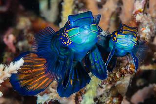 Mandarinfish, spawning pair - Synchiropus splendidus