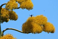 Eleuthera: Agave and Hummer (Ali Bentley) Tags: centuryplant hummingbird bird eleuthera eleutheraisland thebahamas bahamas island caribbean canon