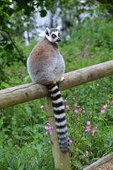 Ring-tailed Lemur (Lemur catta) (Seventh Heaven Photography) Tags: ringtailed lemur ring tailed stripes black white animal mammal strepsirrhine primate lemuridae catta lemurcatta omnivorous nikond3200