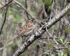 4799 White-throated Sparrow (vtbirdhouses) Tags: whitethroatedsparrow