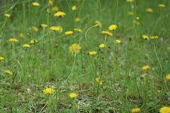 ゆらゆらと With weak wind (eyawlk60) Tags: 風 初夏 黄色 草花 丹波 eos m6 canon wind tamba yellow summer