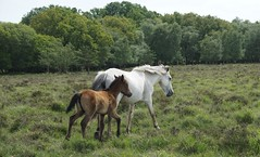 ponies in the New Forest (quietpurplehaze07) Tags: newforest ponies newforestponies trees forest green wild mare foal