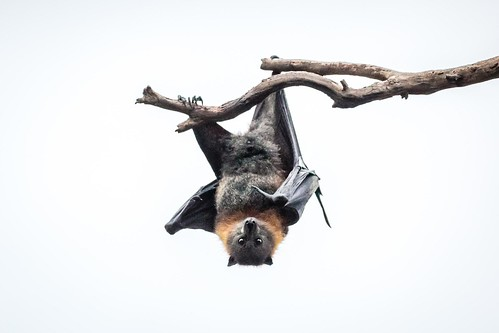 Flying Foxes Yarra Bend Park-20