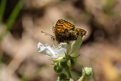 Heath Fritillary (explored) (Anne Richardson) Tags: bleanwoods butterfly insect explored macro photography nature wildlife sigma canon 7dmkii