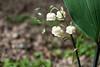 S17X9212 (Daegeon Shin) Tags: fujifilm xpro2 nikkor 55mmf28 mf manualfocus mirrorless flower flor convallariamajalis 은방울꽃 심도 dof 후지 니콘렌즈 수동 수동촛점 꽃 macro 접사 봄 spring