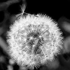 Breaking out (Geert Van Keymolen) Tags: paardenbloem dandelion belgium belgië natuur balckwhite bloem bloemen flower flowers lente nature plant planten plants spring zwartwit erpemere vlaanderen be