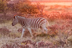 Sunset Zebra (gecko47) Tags: animal mammal zebra equine commonzebra burchellszebra equusburchelli plainszebra sunset namibia etoshanationalpark savannah stripes