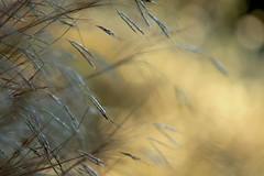 ways to light.... (maria xenou) Tags: eveninglight light sunlight sonnenlicht grasses gräser canoneos1100d softlight plants nature natur moments momente macro makro photodromos fotodromos pflanzen φυση φωσηλιου φυσικοπεριβαλλον φωσ φυτα στιγμεσ φωτοδρομοσ μεσογειοσ mediterranean mittelmeer soft αγριασταχυα ways licht