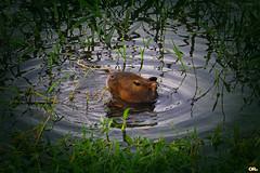 Food all around (Otacílio Rodrigues) Tags: capivara capybara rio river água water plantas plants folhas leaves natureza nature roedor rodent animal resende brasil oro ngc topf25