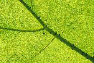 Harvest spider on leaf