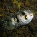 Threebar porcupine fish - Dicotylichthys punctulatus