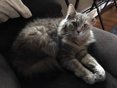 iPhone 3791 (mary2678) Tags: tewksbury massachusetts ma kitty cat chele maine coon