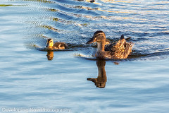 Family Outing (nywheels) Tags: ducks water peaceful birds outdoors nature naturephotography