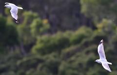Silver Gulls  - in flight (Free_aza_Bird) Tags: flight inflight chroicocephalus novaehollandiae chroicocephalusnovaehollandiae silver gull silvergull lysterfieldparkandreservoir lysterfield park reservoir narre warren narrewarren victoria australia bird birds birders nationalgeographicwildlife featheryfriday wildlifephotography wildlifeoceania