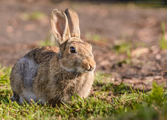 Bunny 25.06.17 (mido2k2) Tags: bbcspringwatch spricgwatch bbc countryfile rabbit mammal nature wild wildlife natural rural bunny fluffy photography nikon nikkor d7100 200500mm f56 vr explore flickr trending awesome stunning uk peak district derbyshire yorkshire selected eyes fur fauna