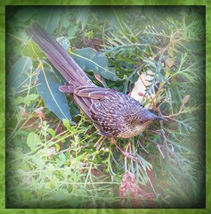 Little Wattlebird... (Anni - with camera - off and on) Tags: littlewattlebird inmygarden honeyeaters anthochaeralunulata grevillea stripes