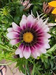 gazania roze/pink (Daniella Velings) Tags: gazania flowers flower bloemen spring lente pink dipdye roze