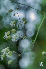SILENE (Lace1952) Tags: silene silenevulgaris erbacea fiori bolle sfocato bokeh panasoniclumix fujinon50mmf1e8