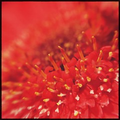 rouge (meeeeeeeeeel) Tags: iphone iphoneography hipstamatic squareformat rojo vermelho rot rosso rouge red flor gerberavermelha redgerbera gerbera detalhedeflor detalhe detail flowerdetail flower macro