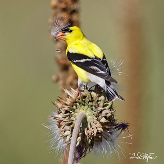 Goldfinch Devours Thistle