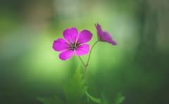Geranium Ann Folkard (Dhina A) Tags: geranium annfolkard flower vivid magenta cranesbill sony a7rii ilce7rm2 a7r2 canon fd 55mm f12 ssc canonfd55mmf12ssc 8blades