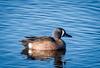 _DSC8499 (nancywphoto) Tags: birds sandlakenationalwildliferefuge southdakota ducks waterfowl pond teal teals nancywagner nancyjwagner nancyjwagnerphotography