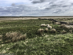 ...we are not the sheep you are looking for..... (mishlove1) Tags: britian cumbria england greatbritian hadrians hadrianswall hadrianswallwalk hike hikehiking hiking northofengland omdem10ii olympus travel uk vacation iphone