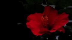 """Una flor """"hibiscus"""" roja ♥ (Juan Antonio Xic Eseyosoyese) Tags: una flor hibiscus roja hibisco rojo asia planta en maceta de mamá casa ventana hojas verde fondo negro canon bella ♥ pasión fleur la familia malvaceae típicas ambientes cálidos regiones tropicales y subtropicales cápsula que contiene varias semillas cada lóculo gineceo androceo eseyosoyese 1 pixel muerto"""