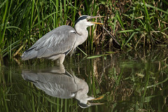 Mini snack (WaterBugsPics) Tags: fish heron water reflection bird waterbird reeds