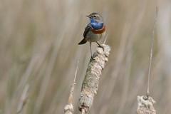 HNS_2490 Blauwborst : Rouge bleu commune : Luscinia svecica : Blaukehlchen : Bluethroat