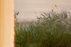 (Benedetta Falugi) Tags: wheat film filmisnotdead filmphotography fujisuperia field green analog analogue analogphotography nature lightleaks lightleak shootingfilm istillshootfilm ishootfilm beliveinfilm benedetafalugi sky om1 olympus