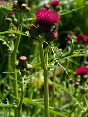 P5102594 (simonrwilkinson) Tags: nymans nationaltrust haywardsheath westsussex handcross gardenplant garden