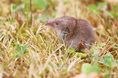 Musaraigne (Mariie76) Tags: animaux soricidé sauvage nature herbe petit mignon musaraigne gris long museau