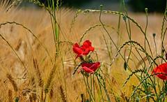 Or, rouge et vert (Diegojack) Tags: plantes fleurs blés coquelicots echandens