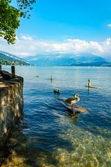 Thunersee (heinrichvon) Tags: see lake thun schweiz switzerland wasser water swan schwan mountains berge gebirge