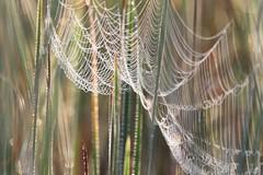 Spider web (Xtraphoto) Tags: bokeh schilf morgentau tau tautropfen nature natur spider web netz spinnennetz
