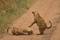 Lions of Maasai Kopjes 432 (Grete Howard) Tags: bestsafarioperator bestsafaricompany africa africansafari africanbush africananimals whichsafaricompany whichsafarioperator tanzania serengeti animals animalsofafrica animalphotos lions lioncubs maasaikopjes kopjes kopje