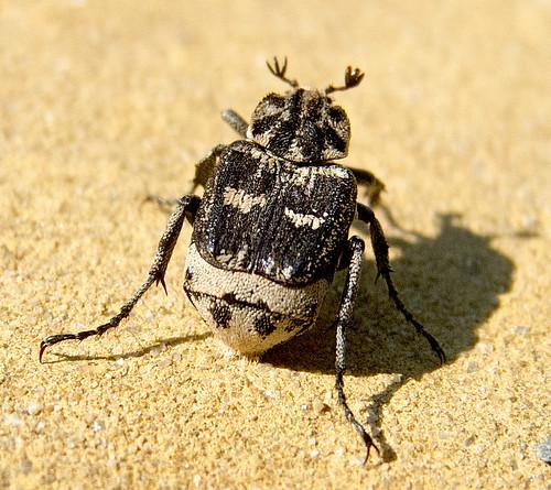 Пестряк коротконадкрылый / Valgus hemipterus / Stolperkäfer