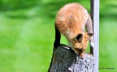 DSC_0801 (rachidH) Tags: fox renard vulpes foxcub renardeau redfox renardroux vulpesvulpes backyard frontyard wildlife sparta newjersey nj rachidh nature