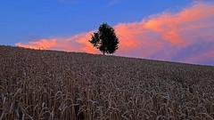 Delight (My home) (ej - photography) Tags: bluehour sky himmel cornfield kornfeld summer sommer 2017 juli july fujifilm xt1 fujinon xf1024mmf4r landschaft landscape natur nature evening abend abendstimmung schweiz suisse svizzera switzerland blauestunde