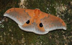 IMG_4017 Pseudobunaea cf. tyrrhena ♂ (Raiwen) Tags: pseudobunaea pseudobunaeaalinda saturniidae lepidoptera silkmoth moth foutadjalon moyenneguinée guinea westafrica africa