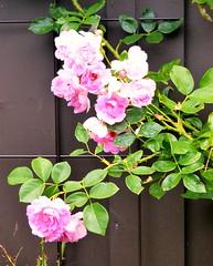 2017 Germany // Unser Garten - Our garden // im Juli (maerzbecher-Deutschland zu Fuss) Tags: 2017 garten natur deutschland germany maerzbecher garden unsergarten juli
