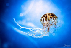 Qualle / Jellyfish (SK snapshots) Tags: aquarium berlin berlinerzoo zoo unterwasserwelt wateranimals sksnapshots nikon d750 qualle jellyfish
